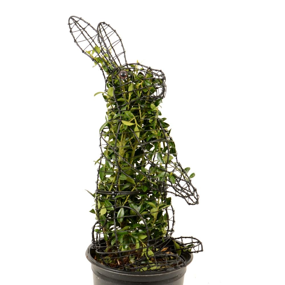 Buchsbaumfigur Hase mit Ilex bepflanzt